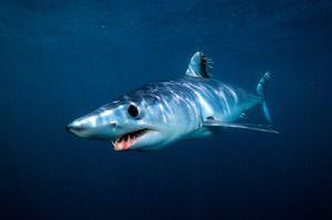 Mako žralok černý-throated