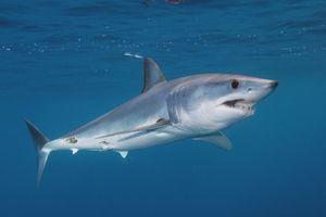 Reprodukce žraloků černé