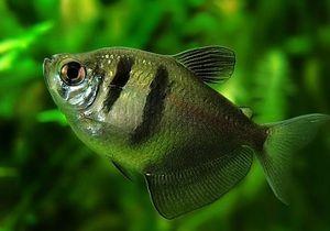 Thornsia z ryb