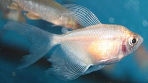 Ternesia albino