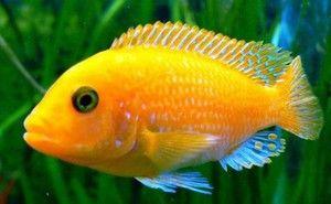 Cichlidy akvarijních ryb: popis a druh