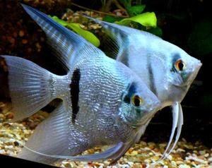 Akvarijní ryby šupinaté