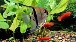 Údržba rybích skalářů a péče o ně