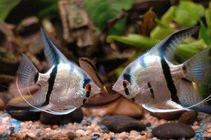 Obsah skalárních ryb