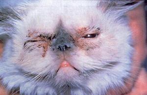 Proč má kočka alergii