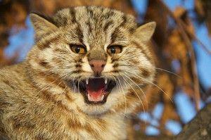 Amur lesní kočka a moderní reality