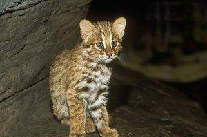 Pěstované koťátko ze dřeva Amur