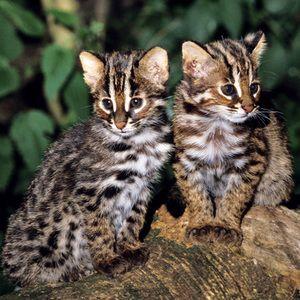 Roztomilá kočka koťata Tsushima