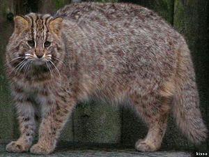Amur lesní kočka - barva zvířete
