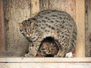 Tsushima je kočka a kotě