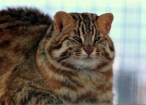 Dospělý plný Amur lesní kočka