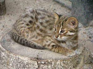 Amur lesní kočka doma