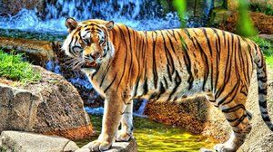 Amur tygr - charakteristické rysy