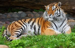 Amur tygr odpočívá
