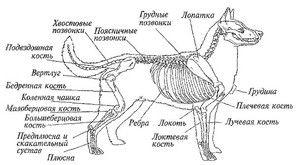 Anatomie psa: vnější a vnitřní struktura těla