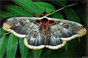 Kde je motýlí páv