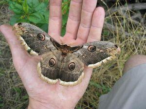 Jak jedl motýl