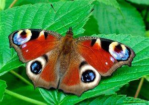 Packy oko motýl