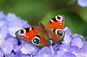 Butterfly Peacock Eye: Vlastnosti a vlastnosti