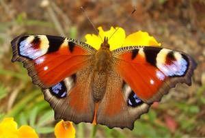 Co přináší motýl pávového oka