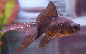 Popis chorob akvarijních ryb