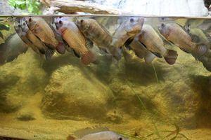 Jak zjistit, že ryby nemají dostatek kyslíku