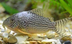 Symptomy kavkazských akvarijních ryb
