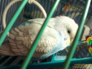 Nemoci zvlněných papoušků a jejich ošetření
