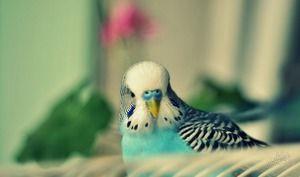 Příznaky zvlněných papoušek