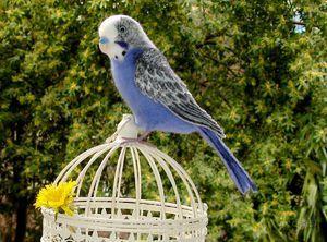 Kolik žijí vlnité papoušky v domácnosti