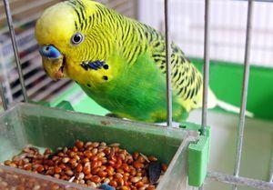 Nemoci zvlněných papoušků