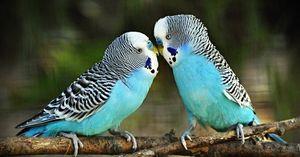 Krmení zvlněných papoušků