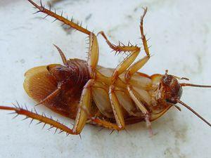 Boritá kyselina z švábů