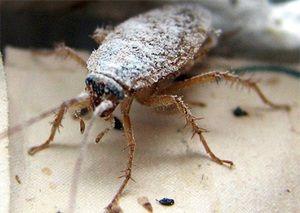 Otrava šváb s kyselinou boritou při čištění antény a nohou