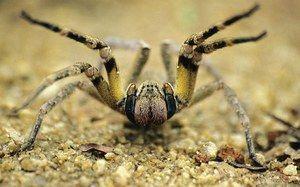 Brazilský putující pavouk - vzhled