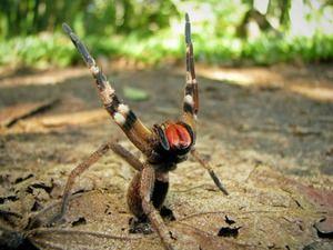 Agresivní brazilský pavouk - smrtelně jedovatý