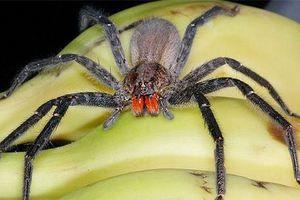 Putující brazilský pavouk - jak rozlišovat