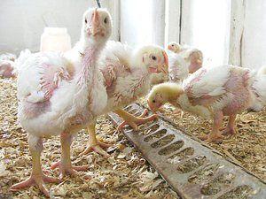 Studená kuřata