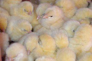 Infekční bronchitida u kuřat