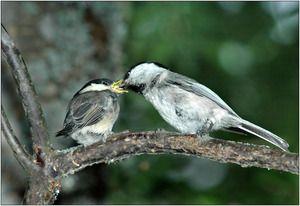 Ořechy rohovky: jídlo, reprodukce baculatý, vzhled ptáka