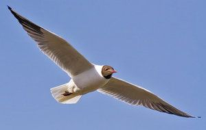 Čajka: je to stěhovavý pták nebo ne?