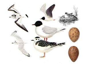 Řeka čajka - dospělí ptáci a vejce