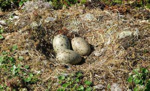 Seagull - hnízdo a tři vejce