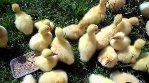 Pravidla pro krmení a udržování domácích goslings