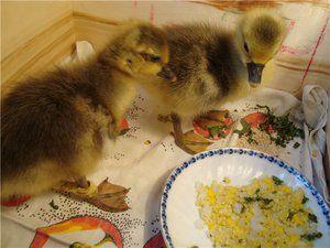 Nuance krmení goslings a péče o ně