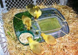 Doporučené krmivo pro goslings dva až sedm dní