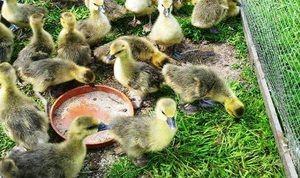 Popis stravy týdenních goslings doma