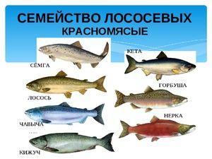 Jaký je rozdíl mezi chum lososem a růžovým lososem?
