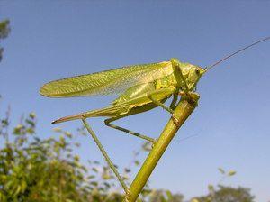 Broušení zelené kobylky