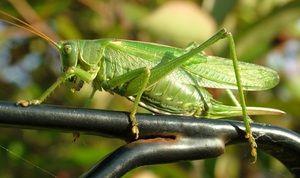 Výživa zelené kobylky